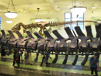 Fossil specimens of Barosaurus Lentus, from which the dinosaur in the Roosevelt Rotunda was cast.