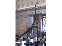 The incredible dinosaur in the Roosevelt Rotunda! This was his real size!