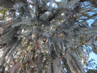 Looking up at the Spanish moss from the lakeside walking path on Rollins College campus.