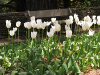 White tulips and a bench.