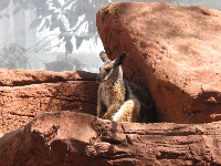 A yellow-footed rock wallaby on a sunny ledge.