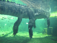 Rex, the crocodile that is over 5 metres long!