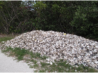 Pile of oyster shells. The oceanographic center is doing oyster gardening to restore the oyster population in the estuary.
