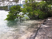 Mangrove tree and bluegreen water.