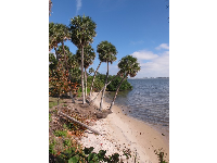 Cabbage palms lean over a river beach.