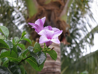 Purple tropical flower and coconut tree.