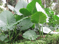 Giant-leafed plant.
