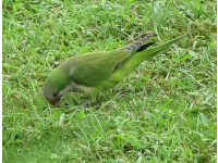 Green parrots hang out under the cabbage palm trees on the hill!