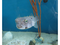 A funny guy...a puffer fish.