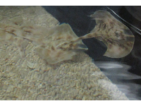Baby sting rays called skates- I love these guys!