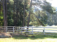 Geese in the late afternoon light at the plantation.