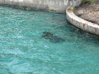The manatee makes its way near the walkway.