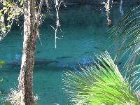 Manatees sheltering in the warm 72 degree water on a 48 degree February day.
