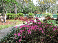 Purple azaleas with amphitheater behind.