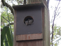 Squirrels peeking out of a birdhouse.