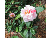 Multi-colored camellia.