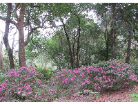Purple azaleas and forest.