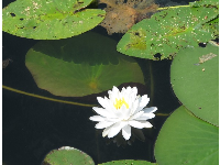 Water lily, as seen from the center's gazebo.