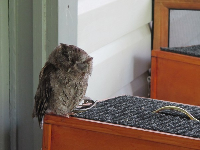 Eastern Screech Owl, so sweet, inside the house.