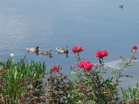 Roses and ducks at Lakeside.