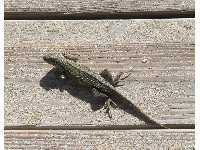 Lizard on the stairs!
