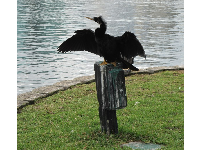 Anhinga bird spreading his wings. Look at his fluffy head- cute!