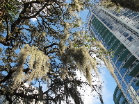 City life in the southeast: Spanish moss and skyscrapers!