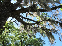 Looking up at Spanish moss on a sunny day.