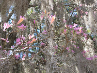 Bell-like flowers and Spanish moss.