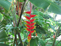 Lobster Claw Heliconia.