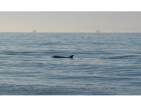 A dolphin enjoys the calm waters and abundance of fish at Butterfly Beach!