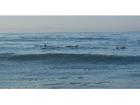 Wow! A whole bunch of dolphins! And so close to shore!