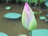 Lotus bud closeup.