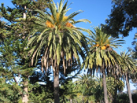 Canary Island Date Palms on a sparkling day in Hope Ranch.
