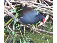 Moor hen, with its lovely red beak.