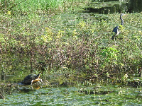 Turtle and blue heron.