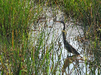 Blue heron in the long grasses.