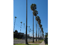 You know you're in Southern California when you see rows of palms this tall and this happy!