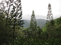 Pines overlooking Manoa Valley.