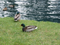 Ducks at the pond at Waller Park- I have no idea why the pond and fountains seemed to be filled with blue-green dye!