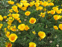 Poppies in the parking lot at Coleman Park in early April.