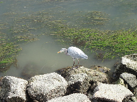 Heron, with sea grass behind.