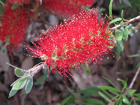 Red Bottlebrush plant on Main Street, near Morro Bay Blvd.