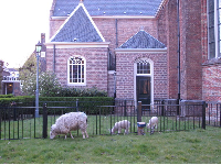 Sheep in front of the old church.