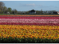 Fields of tulips, the first day of May.