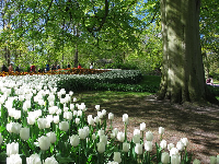 White tulips under a large tree.