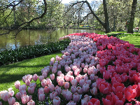 Amazing, full tulips!