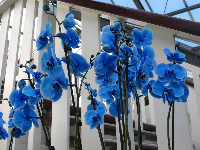 Blue orchids in the pavilion.