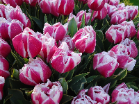 Tulips with an unusual design.