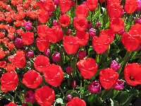 Bright red tulips.